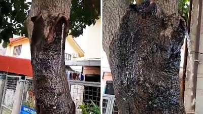 Pohon alpukat besar keluarkan air bersih