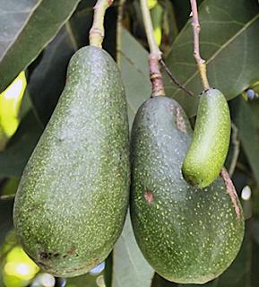 bibit alpukat aligator pear | budidaya tanaman alpukat aligator | pohon alpukat aligator | menanam alpukat aligator pear