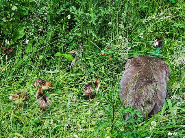 Pauw met kuikens