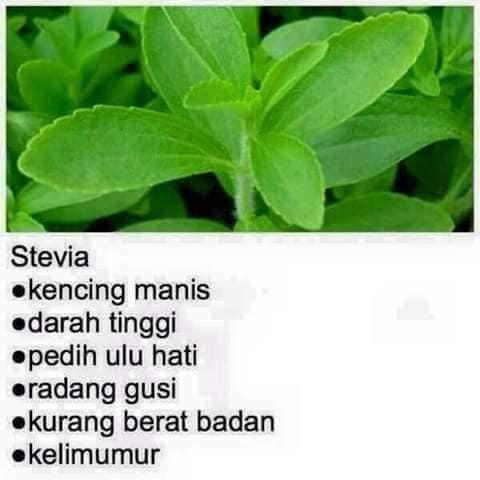stevia pokok khasiat penawar penyakit