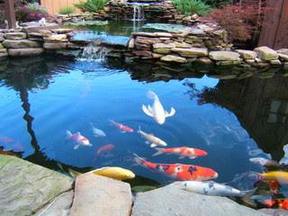kolam-ikan-koi-berbusa.jpg