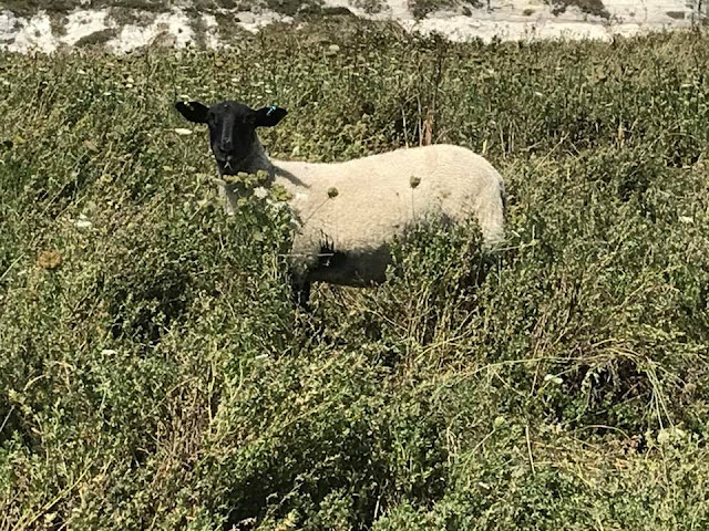 sheep-samphire-hoe