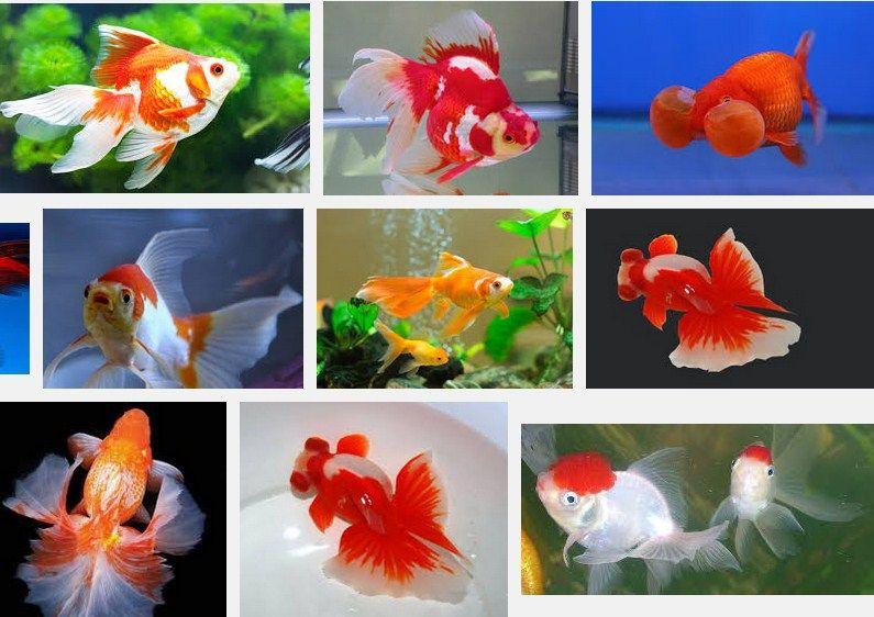 Jenis da Harga Ikan Mas Koki