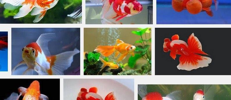 Cara Merawat dan Memelihara Ikan Mas Koki Yang Baik