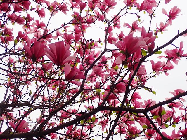U południowych sąsiadów też jest trochę różowych kwiatów