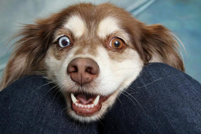 Can My Pet Get Corona Virus (COVID-19)?