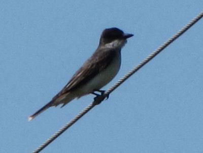kingbird side view
