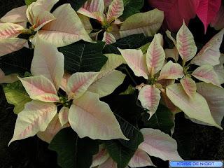 Poinsettia - Euphorbia pulcherrima - Etoile de Noël