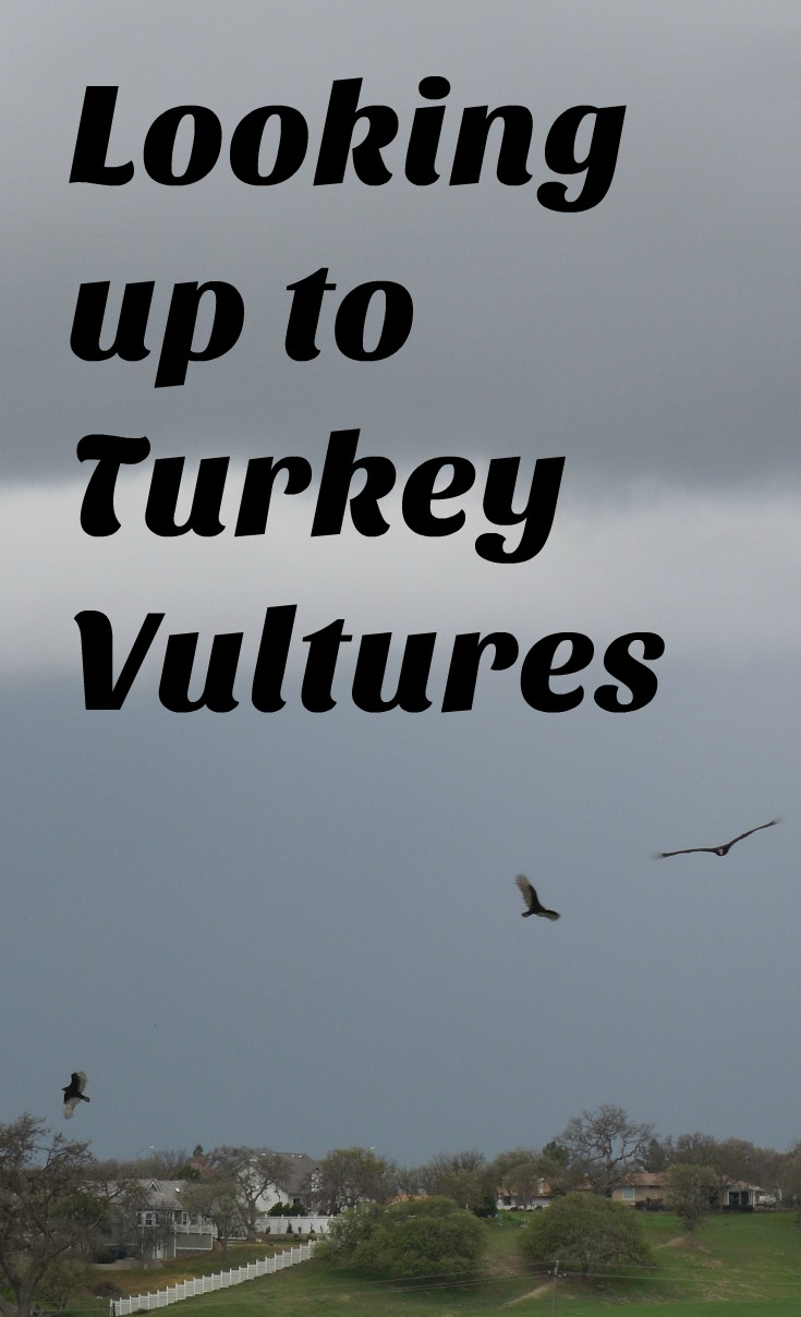 Looking Up to Turkey Vultures