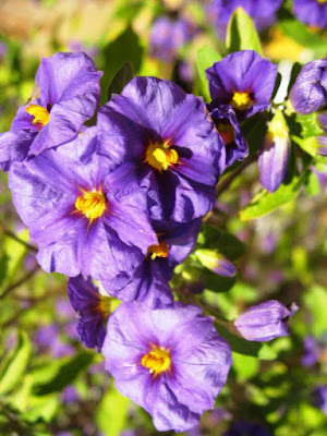 Purple flowers with yellow centres in the sunshine