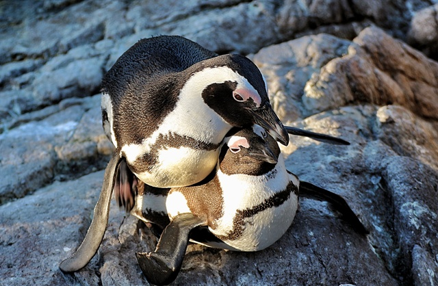 Haz el pingu-amor y no la guerra