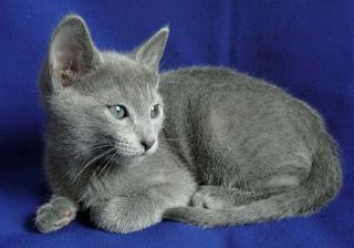 Kucing ialah salah satu binatang yang terkenal dengan ciri nya yang imut 10 Jenis Kucing Termahal di Indonesia yang mendunia