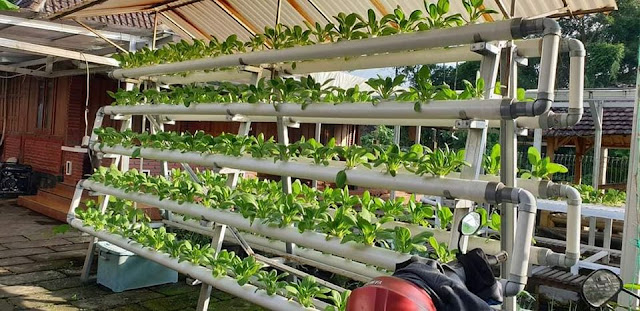 Selada ditanam dalam sistem pertanian vertikal dalam ruangan