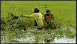 IMPACT OF RAINFALL ON PADDY PRODUCTION