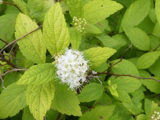 Spirée du Japon - Spiraea japonica (Horticole)