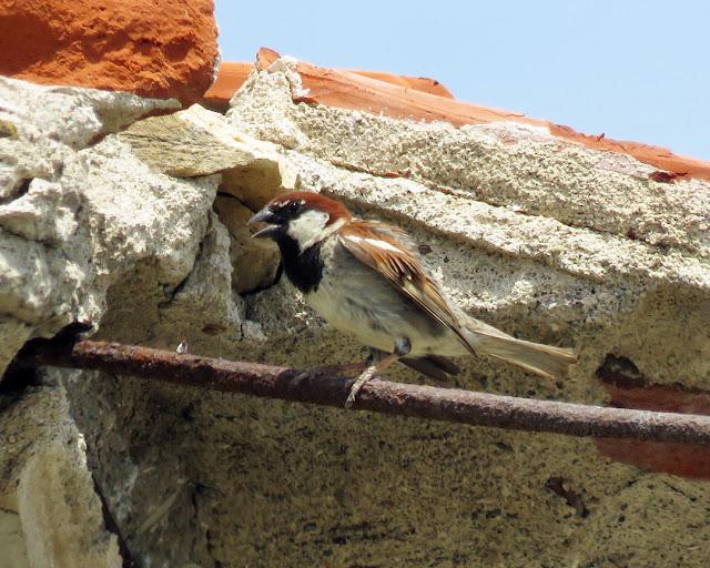 Sparrow on rebar, Spianata del Molo Mediceo, Livorno