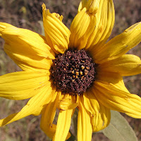 Common sunflower on Garcia Trail