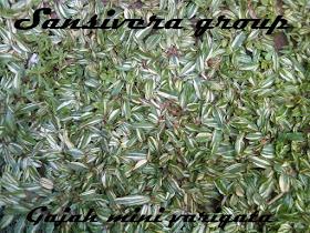 Rumput_gajah_mini_varigata