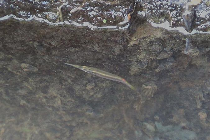 Dlium Silver halfbeak (Dermogenys pusilla)