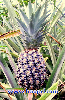 Tribal Pineapple Cultivators