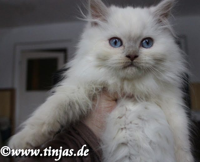 Kitten fawn point Britisch Langhaar 10 Wochen
