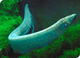 You'll be stunned for Electric eel(Electric Fish)