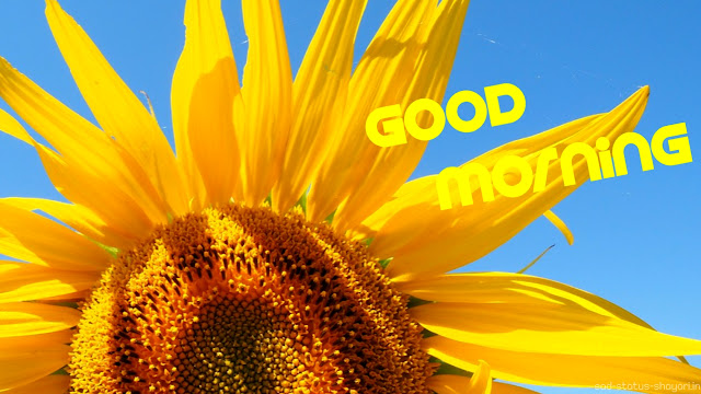 Good morning images sunflower
