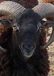 Soay Sheep Origin, Facts, Weight, Height, Milk, Meat Quality