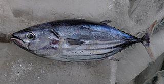 Jenis Ikan di Pantai Depok pantai selatan yogya jawa