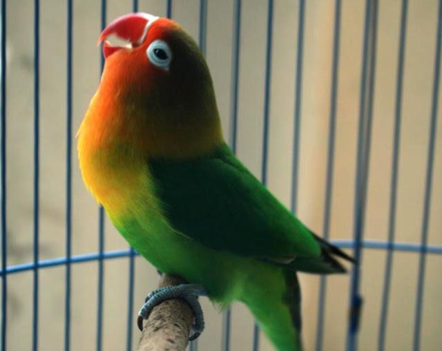 Trik Jitu Cara Mengatasi Birahi Lovebird Jantan