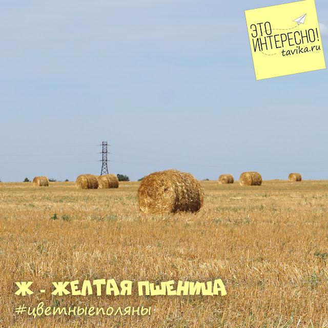 круглые снопы сена на поле