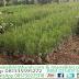 Jual Tanaman Pinus Merkusi Harga Murah