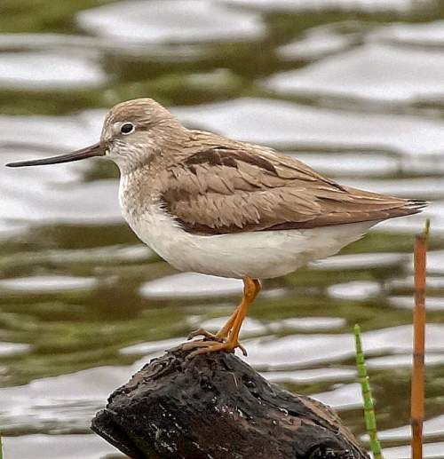 Bird World - Image of Terek sandpiper - Xenus cinereus