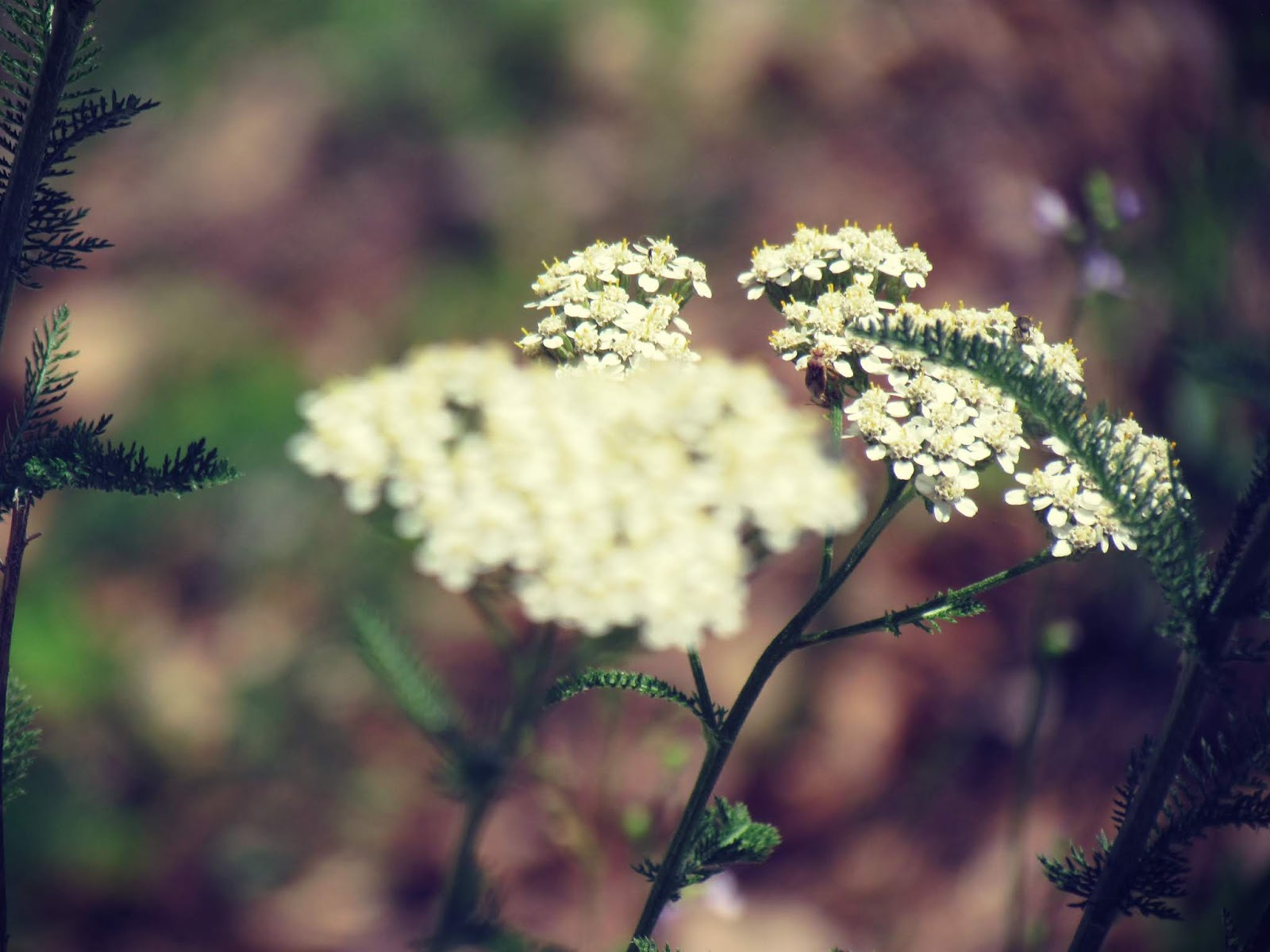 A magical yarrow plant root, herbs, and seedlings in the pines of New England