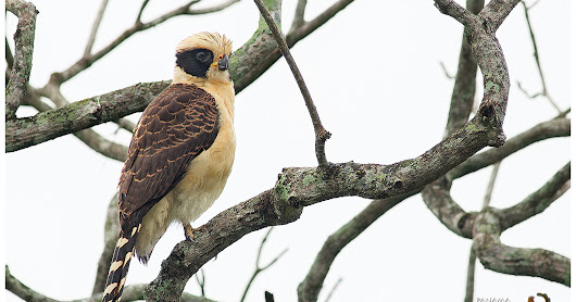 Featured Species: Laughing Falcon (Herpetotheres cachinnans)