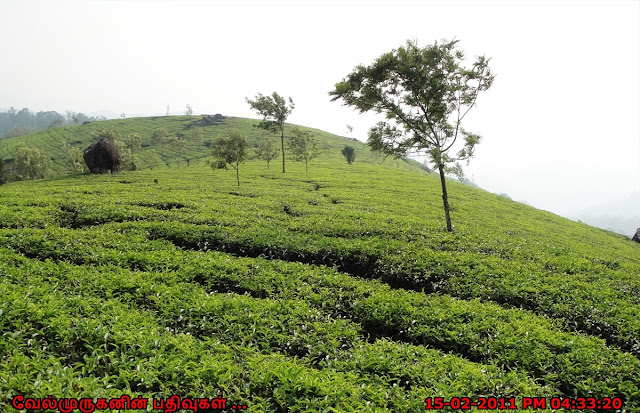KDHP Tea Estates Munnar