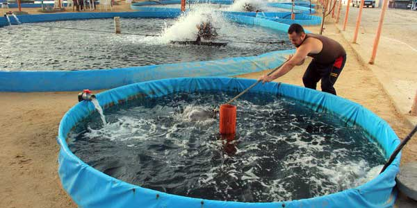 Keunggulan dan Kelemahan Berternak Ikan Sistem Teknologi ...