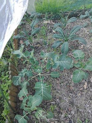 Orto di dicembre: broccoli verdi e cavoli neri