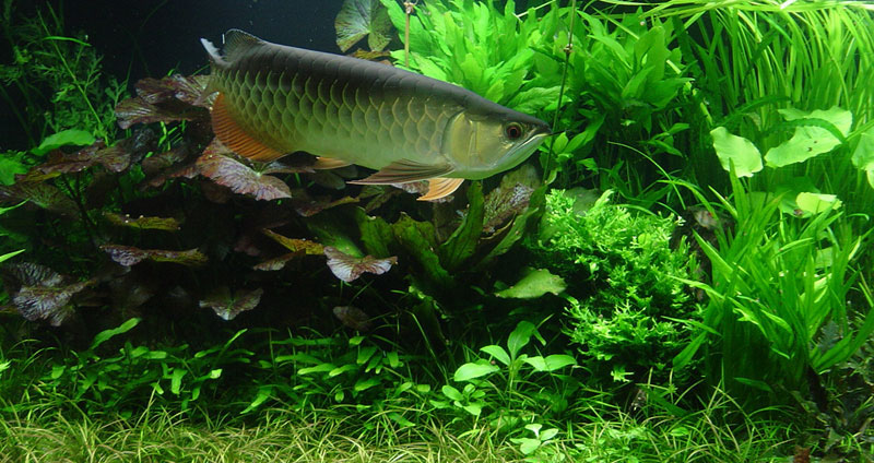 Elegant Setting Up Aquascape Aquarium With Arowana Fish