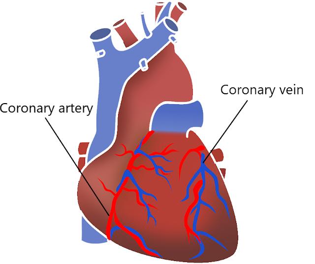 heart coronary artery