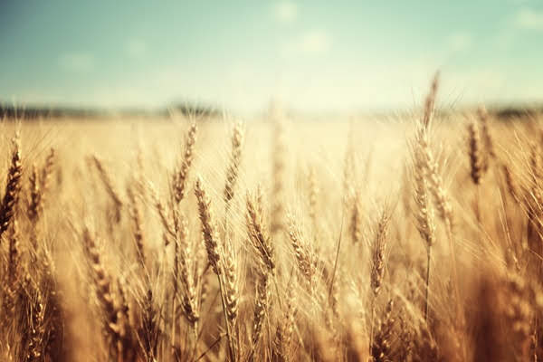 Weeds and Wheat