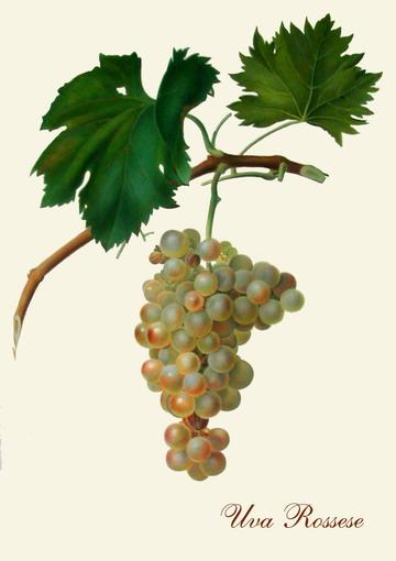 L'uva rossese, 200 anni fa...