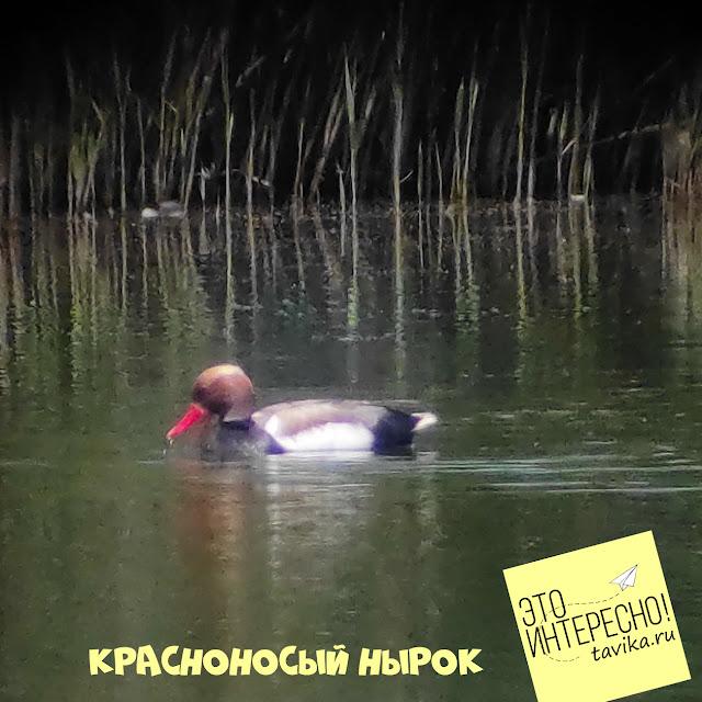 красноносый нырок на озере Кызыл Яр, Крым