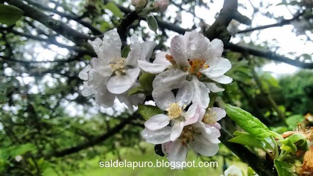 manzano-flor