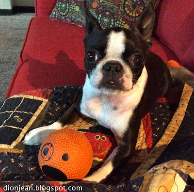 Sinead the Boston terrier with her ball