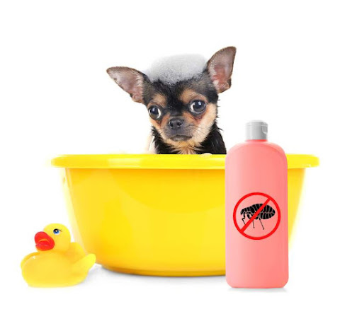 Chihuahua in bath tub