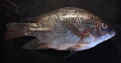 Grilled Fish - Video Recipe