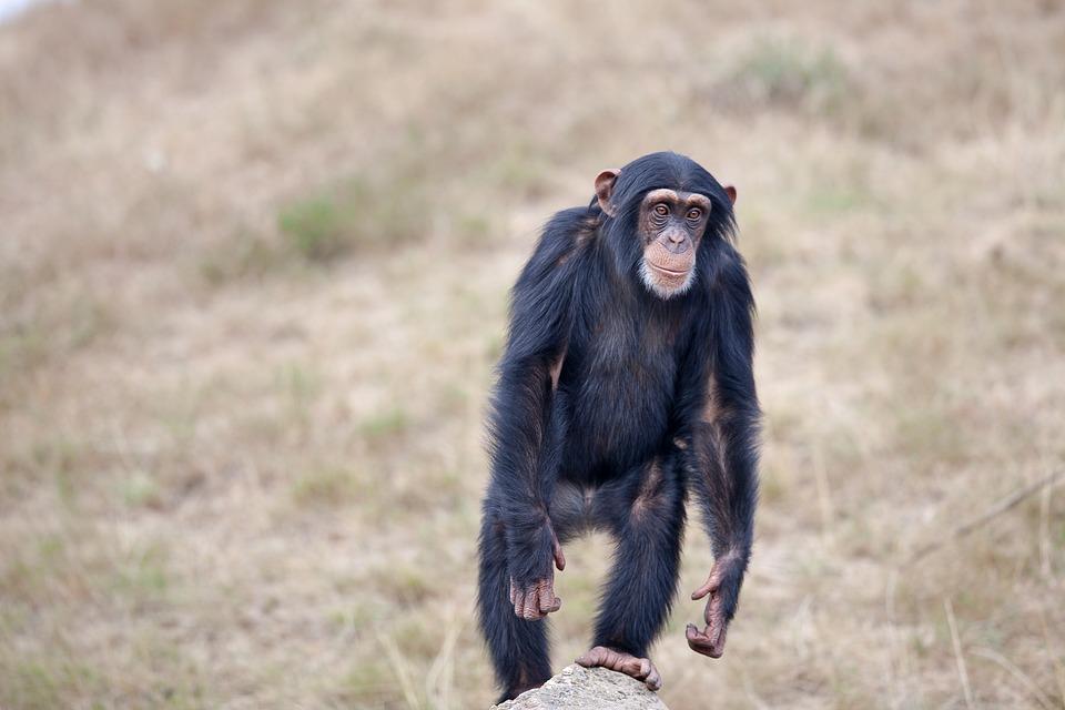 fakta simpanse