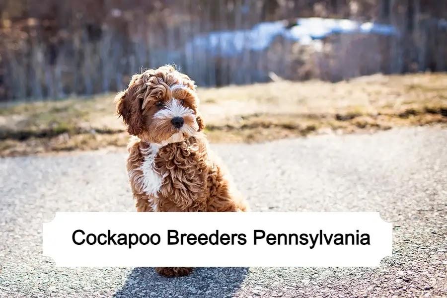 Cockapoo Breeders in Pennsylvania