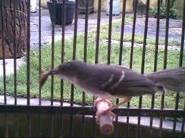 Burung Ciblek - Cara Perawatan Ciblek dari Bakalan Hingga Menjadi Gacor / Rajin Berkicau - Penangkaran Burung Ciblek